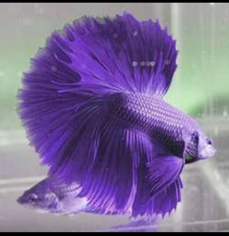 Half moon violet betta fish | Mmmm...Purple! | Pinterest ...