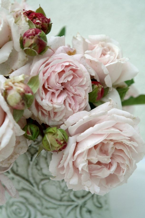 Kordes Constanze Mozart. Kordes is known for their fragrant roses.