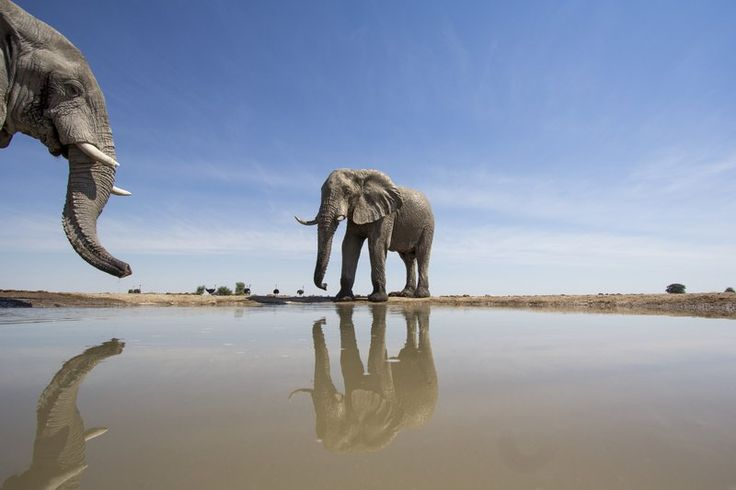 Like human toddlers, great apes, magpies and dolphins, elephants have passed the mirror test—they recognize themselves in a mirror.