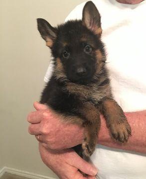Litter of 5 German Shepherd Dog puppies for sale in DULUTH, GA. ADN-30158 on PuppyFinder.com Gender: Female. Age: 8 Weeks Old