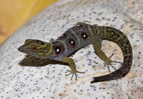 The critically endangered Grenadines Clawed Gecko, or Union Island Gecko (Gonatodes daudini)  Un cugino di Jack in pericolo! :(