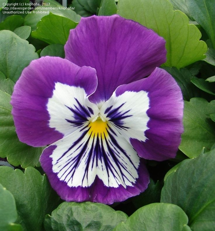Pansy 'Whiskers Purple & White' (Viola x wittrockiana)