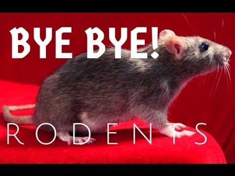 Best 25 getting rid of mice ideas on pinterest mice repellent how to get rid of mice in your house ccuart Images