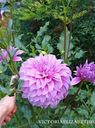 Dahlias are one of my favorite flowers— especially for cutting.  See my best varieties in bloom!