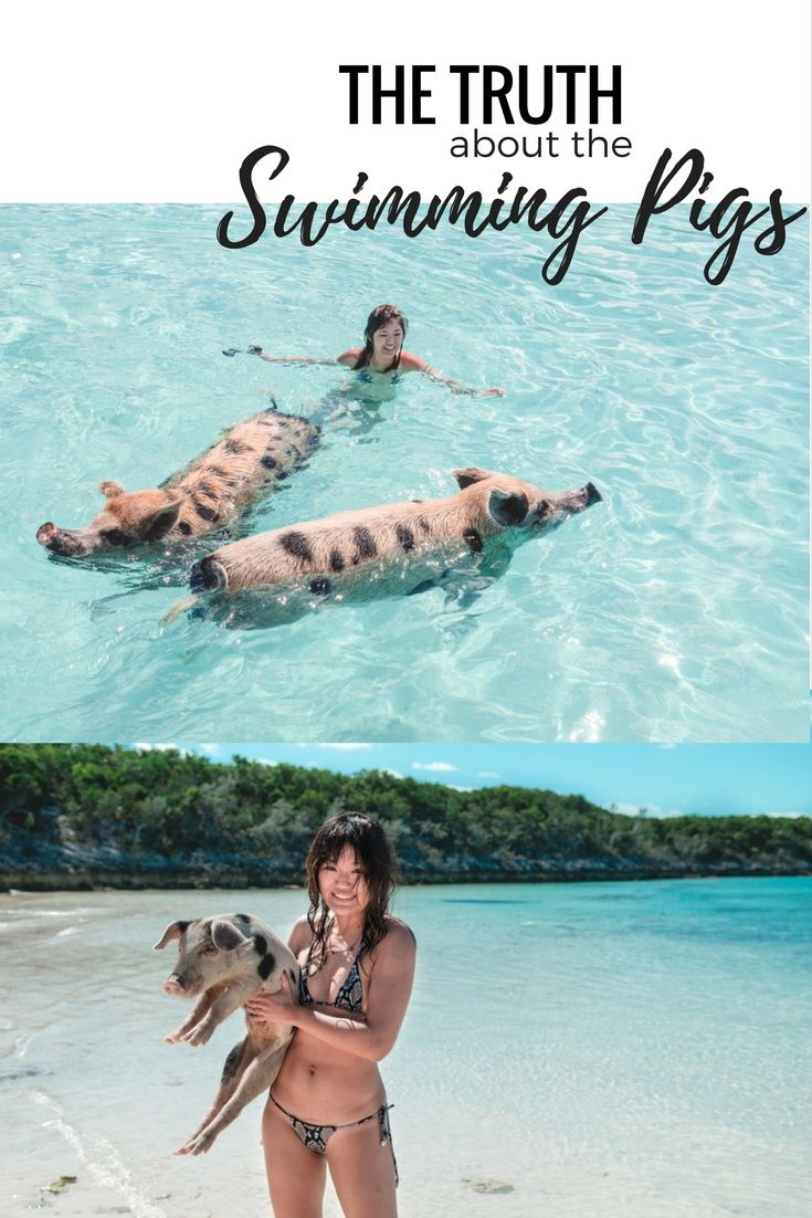 The Truth About Swimming Pigs in the Bahamas