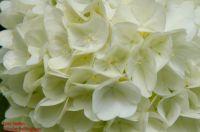 Blüten von Viburnum plicatum f. sterile