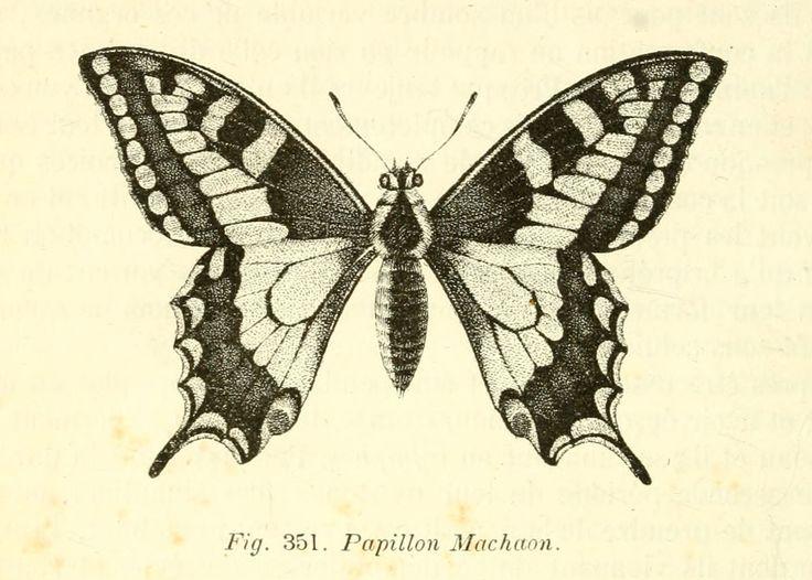 dessins scolaires zoologie - Dessins scolaires zoologie 488 papillon machaon - Gravures, illustrations, dessins, images
