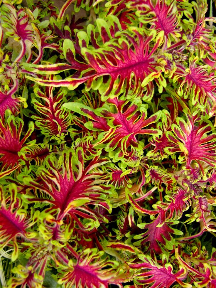 NGB Year of the Coleus: Hort Couture Coleus Under the Sea Bone Fish is an upright, mounding thriller in a bright fuchsia with chartreuse margins.