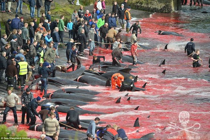 Killing zone: Using ropes to pull the pilot whales up the beach, the locals begin to mercilessly kill the whales