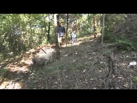 Dogs101 lagotto Romagnolo Rare breed - YouTube