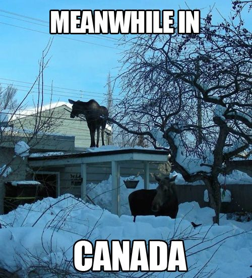 In Canada we don't freak over this and call the DNR or the media...we phone all our family & friends to come over and see the cool moose on the roof! :)