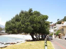 Sideroxylon inerme - Cape milkwood trees   in typical coastal habitat - Google Search