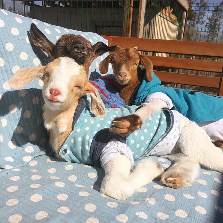 El corazón de las cabras es tan grande que hay espacio suficiente para querer a muchos amigos.