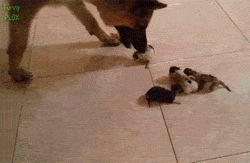 Dog Giving The Tiniest Kittens A Wash