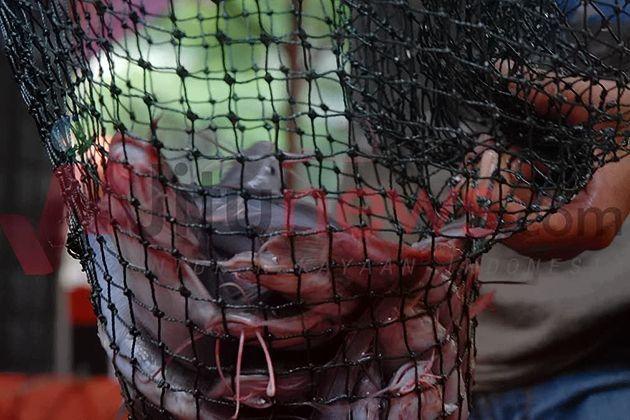 Cara Jitu Tangkal Predator dan Penyakit Lele Sangkuriang http://jitunews.com/read/17455/cara-jitu-tangkal-predator-dan-penyakit-lele-sangkuriang #Jitunews