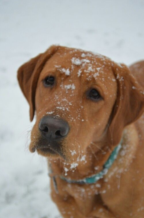 Fox red lab in snow Must run in the breed! Our Avery loves snow!!