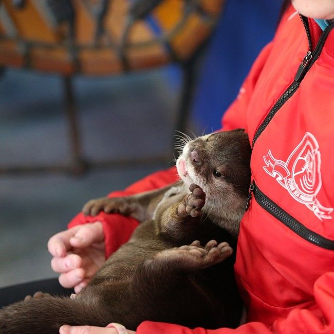 Little otter Yamato plays up the cuteness - May 6, 2014