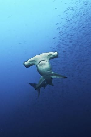 Hammerhead Shark Galapagos Photographic Print by Kadu Pinheiro at Art.com