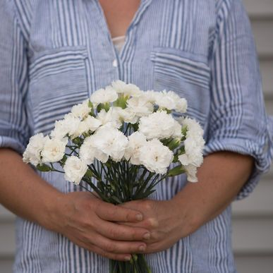 Chabaud Jeanne Dionis Dianthus Seeds (Dianthus caryophyllus) + FREE Bonus 6 Variety Seed Pack - a $30 Value!