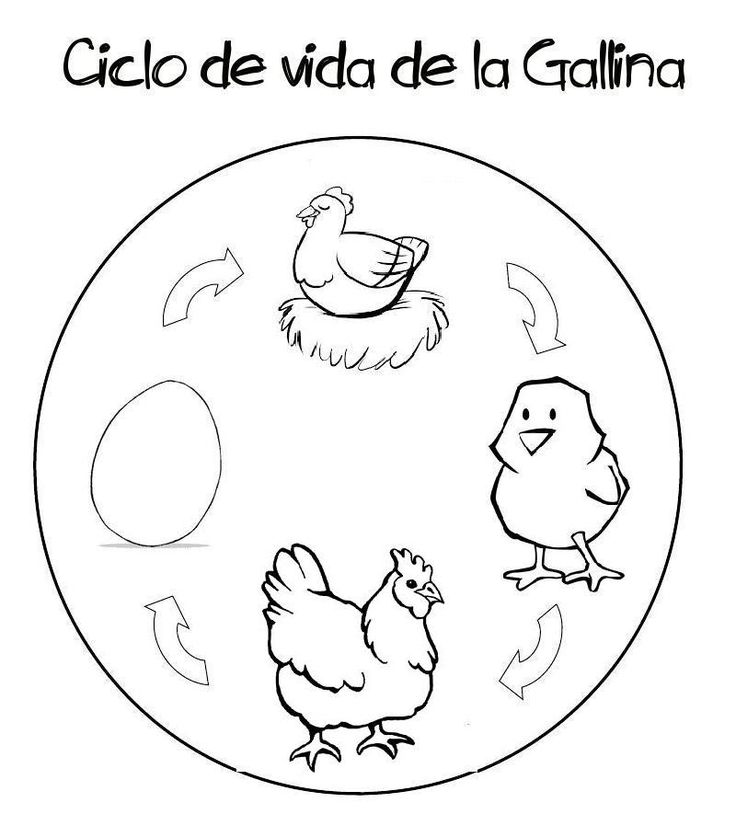 Menta Más Chocolate - RECURSOS y ACTIVIDADES PARA EDUCACIÓN INFANTIL: CICLO DE LA VIDA de una GALLINA