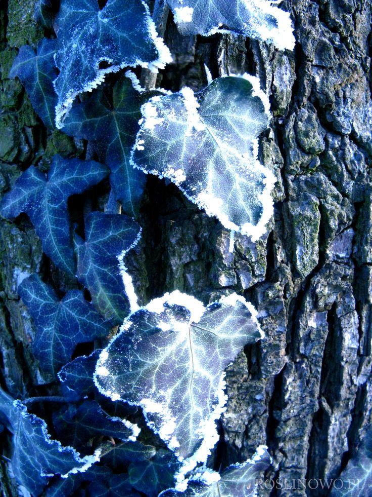 Bluszcz pospolity - Hedera helix, w zimowej odsłonie