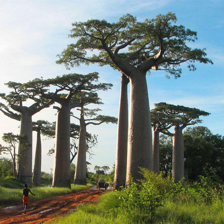 La sapienza è come un baobab; una sola persona, a braccia aperte, non può stringerne il tronco. (Proverbio africano)