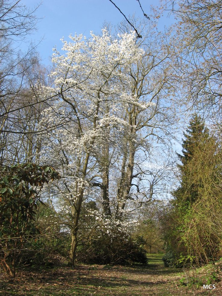 Magnolia salicifolia - willow-leaved Magnolia.  So delicate (and upright) & it's lightly perfumed.  5th April 2009