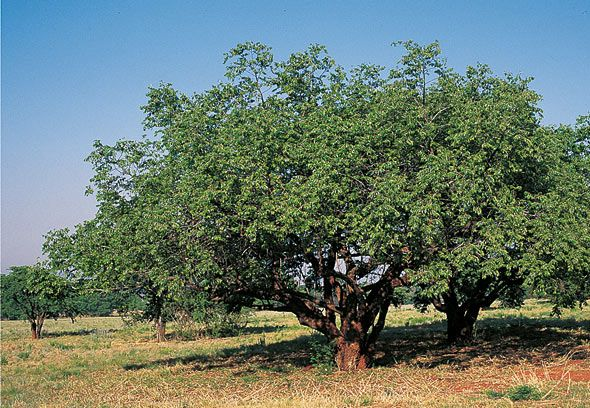 Ziziphus mucronata - Buffalo thorn tree - Ziziphus mucronata -  one of the most adaptable trees, growing in all types of soil, can endure intense heat, cold, frost...