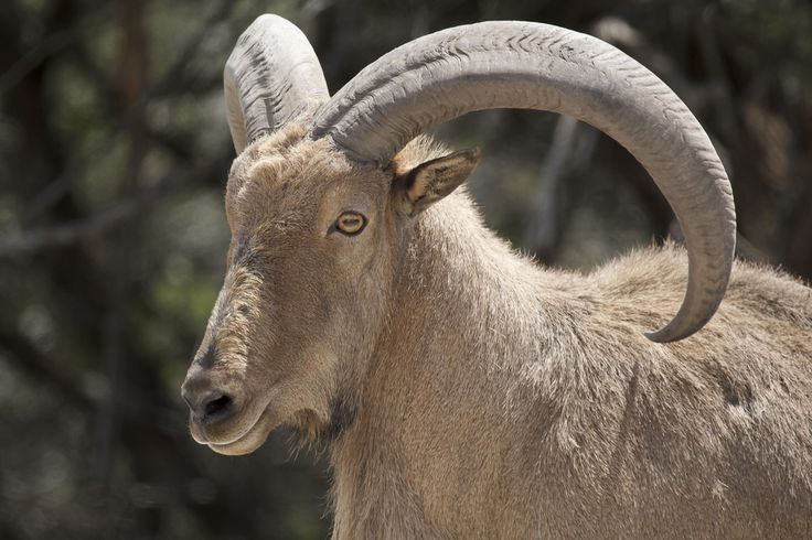 tah goat Asian mountain