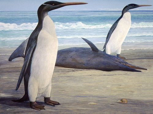 """Kairuku grebneffi …is an extinct species of """"Giant Penguin"""" that lived in what is now New Zealand during the late Oligocene. K. grebneffi is one of the tallest and heaviest species of penguins that lived, with individuals reaching sizes of 1.5 meters (4.9 ft) long and weighing around 60 kilograms (130 lbs)."""