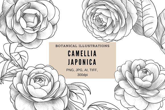 Camellia Japonica Flower Drawing Camellia Adobe Illustrator Vector
