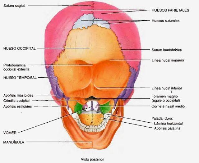 7 best higiene dental images on Pinterest   Anatomy, Anatomy ...