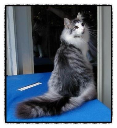 정말정말 키워보고 싶은 노르웨이숲 고양이~ 저 도도하고 럭셔리한 자태보소!!