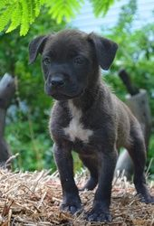 Harper~ is an adoptable Boxer Dog in Pearl River, NY. � Harper is a sweet little 8 week old female Boxer Lab mix puppy surrendered to our rescue in TN. She is so sweet and loves everyone, and� gets al...