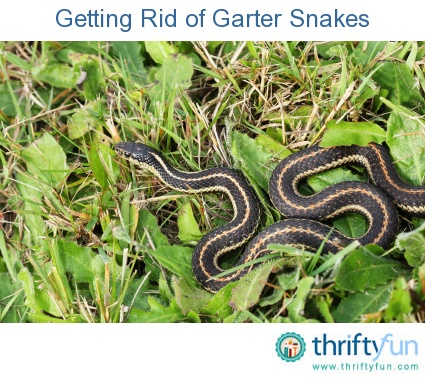 This is a guide about getting rid of garter snakes. Although these innocuous snakes are not poisonous, they can still be undesirable in a yard or garden.