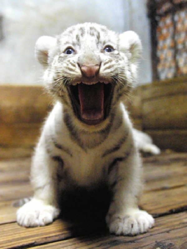 Baby tiger!Big Cat, White Tigers, Baby Animal, Whitetigers, Tigers Cubs, Kitty, Baby Tigers, Animal Funny, Cameras