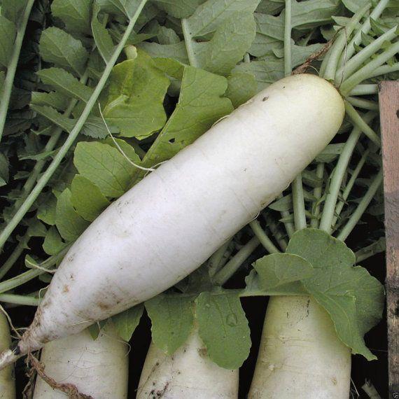1000 rábano blanco chino, rábano daikon, rábano oriental, sativus raphanus, semillas de hortalizas