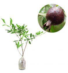 Black Pomegranate Rp 75,000