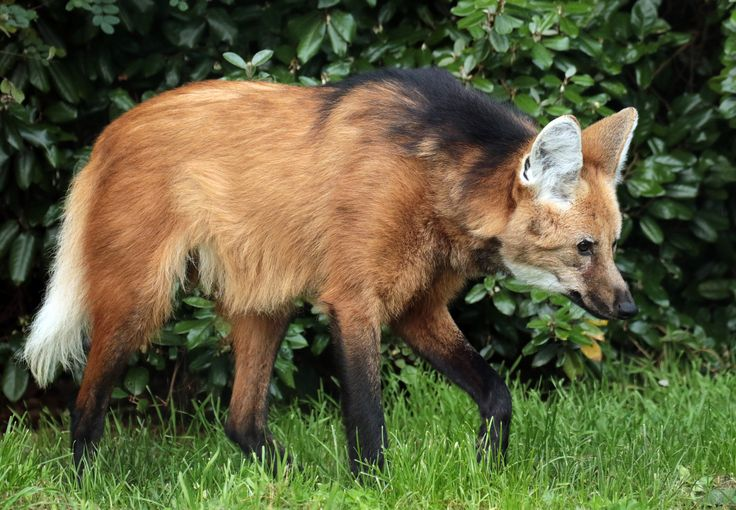 1000+ images about Canidae-Other Wild Canids on Pinterest ...