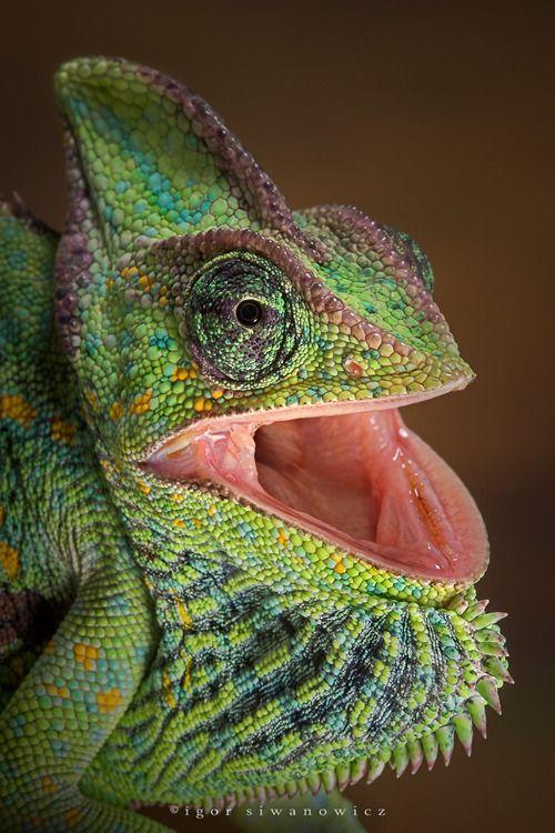 Chameleon (Blepharopsis)