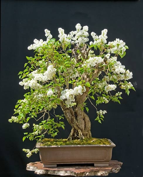 25 best ideas about bonsai baum on pinterest lila b ume. Black Bedroom Furniture Sets. Home Design Ideas