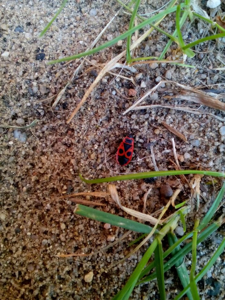 Ruměnice Pospolná  (Pyrrhocoris Apterus) u nás na zahradě