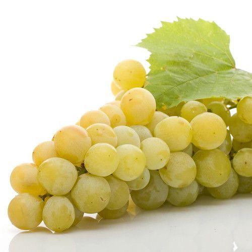 """Blanc du Bois Grape Plant - 4"""""""" Pot"""