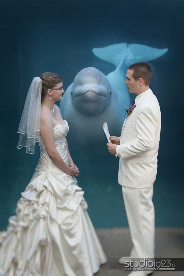 Beluga Whale performs the Aquarium Wedding Ceremony.  Taken at Mystic Aquarium in CT