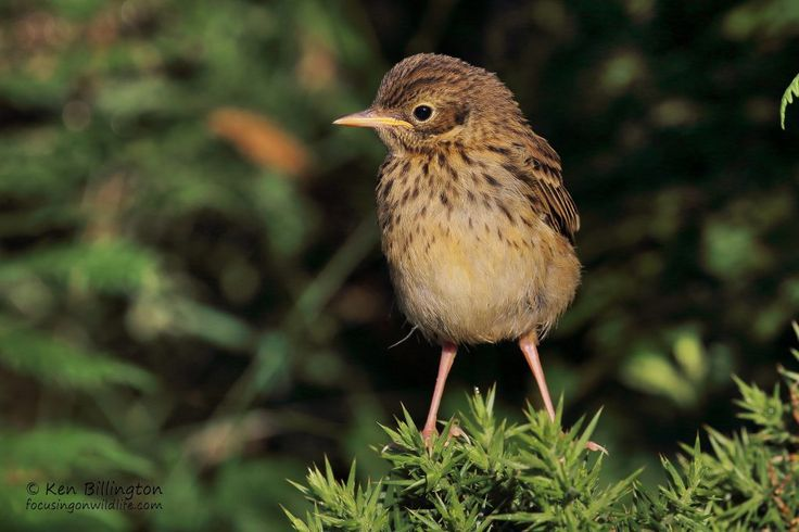 Juvenile Meadow Pipit, Anthus Pratensis by Ken Billington http://focusingonwildlife.com/news/wildfocus/featured/meadow_pipit_04_wm1/