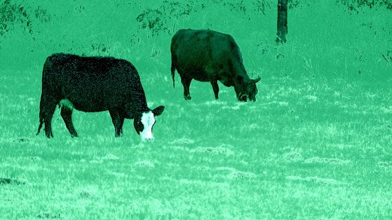Cows in Paddock Black Outline on Green by BlackbirdArtDesign, $35.00