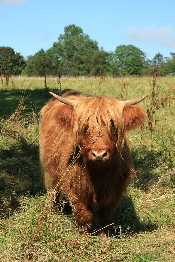 Highland Cattle Roam The Meadows In Summertime At Denmark