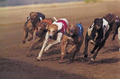 corsa levrieri  greyhound