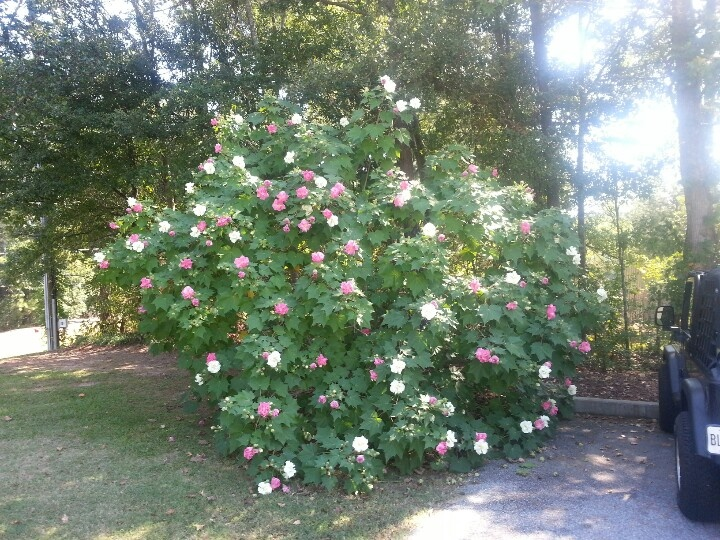 42 Best Images About Confederate Roses On Pinterest