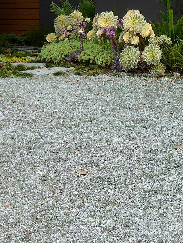 Dymondia Margaretae Silver Carpet Buy Online At Annie S Annuals Silver Carpet Plants Backyard
